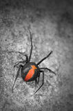 Australian Red Back Spider. Australian poisonous red back spider Royalty Free Stock Images
