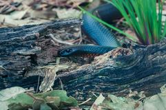 Australian red bellied black snake, Pseudichis porphyriacus royalty free stock photo