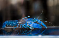 Australian red claw crayfish. Cute for pet or food stock image