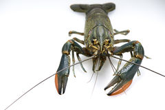 Australian red claw crayfish Royalty Free Stock Images