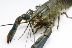 Australian red claw crayfish Royalty Free Stock Photo