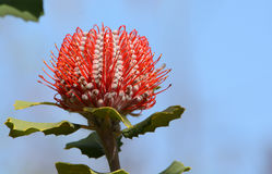 Australian red flower Banksia coccinea Scarlet Banksia. A red Australian Banksia coccinea Scarlet Banksia flower. Picture taken in Kings Park Perth Western Stock Images