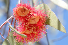 Australian red flower Corymbia ficifolia Royalty Free Stock Image