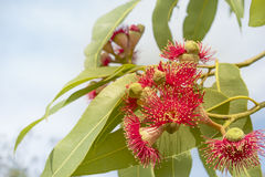 Australian red flower eucalyptus tree Stock Image