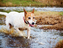 Australian red heeler Stock Images