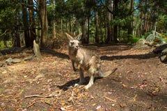 Australian Red Kangaroo Stock Photography
