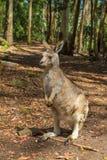 Australian Red Kangaroo Stock Photo