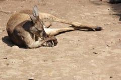 Australian Red Kangaroo 1 Stock Photo
