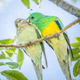Australian Red-Rumped Parrot Mated Pair Perched on Branch Stock Photography