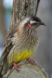 Australian Red Wattle-Bird Honeyeater Stock Photography