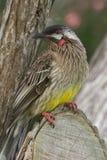 Australian Red Wattle-Bird Honeyeater Stock Photo