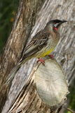 Australian Red Wattle-Bird Honeyeater stock photography