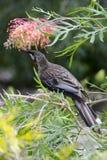 Australian red wattlebird Stock Photo