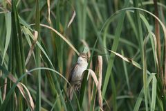 Australian Reed-Warbler (Acrocephalus Australis) Royalty Free Stock Photo