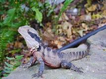 Australian reptile Royalty Free Stock Photo