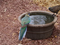 Australian Ringneck and a Apostle bird Stock Photo