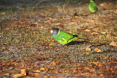 Australian Ringneck Royalty Free Stock Photos