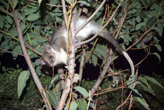 Australian ringtail possum Royalty Free Stock Image