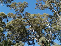 The Australian River Red Gum tree Stock Photo