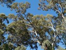 The Australian River Red Gum tree Stock Photo