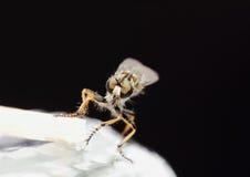 Australian robber fly Stock Image