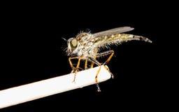 Australian robber fly Stock Images