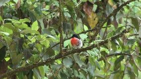 Australian Robin on a branch UK. Australian robin close up on branch HD stock video