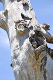 Australian Rock Doves on Tree Stock Photo
