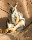 Australian rock wallaby Royalty Free Stock Photos