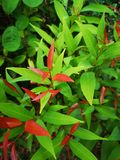Australian Rose Apple, Brush Cherry, Creek lily Pilly, Creek Satinash royalty free stock photography