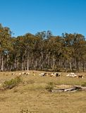 Australian rural country with beef cattle Royalty Free Stock Photos