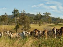 Australian rural landscape cattle country Stock Photos
