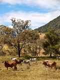 Australian Rural Scene Beef Cattle for Meat Stock Photography