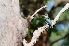 Australian sacred kingfisher. Perched in tree enjoying the sunshine stock photography