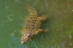 Australian salt water crocodile Royalty Free Stock Image