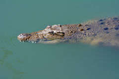 Australian salt water crocodile Stock Images