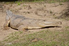 Australian Saltwater Crocodile Stock Photography