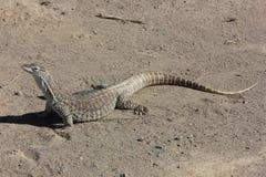 Australian Sand Monitor (Varanus gouldii) Royalty Free Stock Image