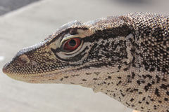 Australian Sand Monitor (Varanus gouldii) Royalty Free Stock Photography