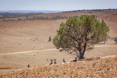 Australian scenery with kangaroos under the tree Royalty Free Stock Photo