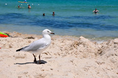 Australian Sea Gull: Cottesloe Beach stock images