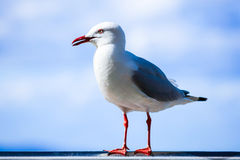 Australian Sea-gull portrait Royalty Free Stock Photos