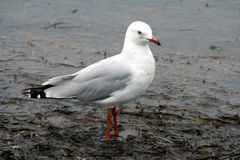 Australian Sea Gull in water Royalty Free Stock Photo
