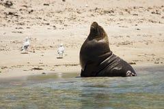 Australian sea lion royalty free stock photography