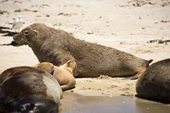 Australian sea lion Stock Photo