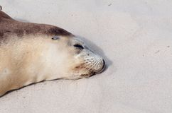 Australian Sea Lion Stock Image