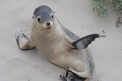Australian sea lion Stock Photos