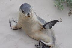 Australian sea lion. A young australian sea lion stock photos