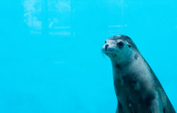 Australian Sea Lion Royalty Free Stock Image