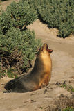 Australian Sea Lion Royalty Free Stock Photos